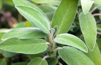 Avoid Sage during Pregnancy, Lactation, Kidney Problems, Allergies, Epilepsy